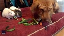 Pies dołącza do świnek morskich i razem zajadają się wege przekąskami