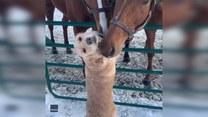 Pies i konie. Nie szczędzą sobie czułości