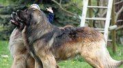 Pies jak lew