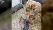Pies karmi swoich mniejszych kumpli marchewkami