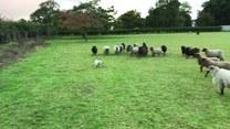 Pies kontra owce. Kto kogo pogonił