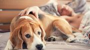 Pies leży pogrzebany... w sypialni