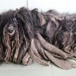 Pies miał skorupę z sierści. Znaleziono jego właściciela
