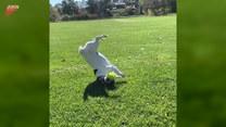 Pies mknie w kierunku piłki. Ale hamowanie!
