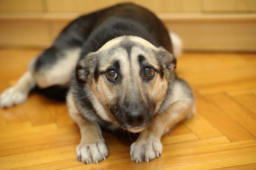 Pies może trząść się z różnych powodów /123RF/PICSEL