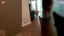 Pies nie chciał puścić kobiety do pracy. Co zrobił?