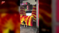 Pies nie może się oprzeć wielkim szczotkom w myjni samochodowej