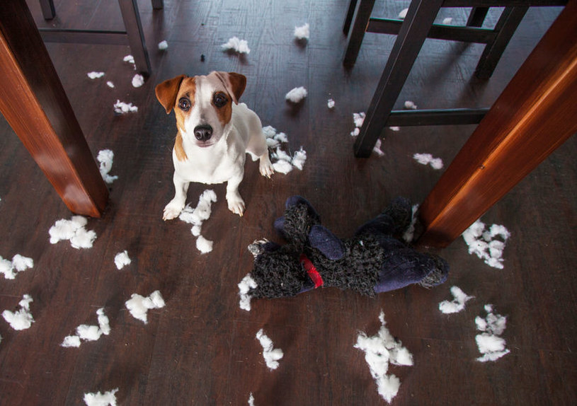 Pies niszczy rzeczy /©123RF/PICSEL