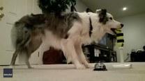 Pies prezentuje imponujące sztuczki. Co potrafi?