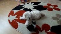Pies próbuje się zaprzyjaźnić z małym królikiem
