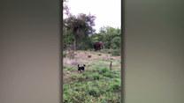 Pies próbuje zagonić... słonia. Niewiarygodne