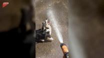 Pies próbuje złapać wodę ze szlaucha. Jest wytrwały