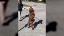 Pies przechodzi przez pasy na dwóch łapach. Zabawne