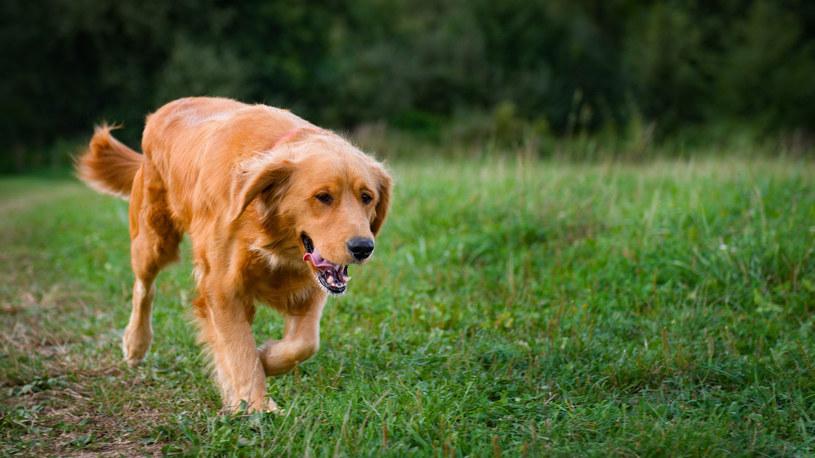 Pies rasy golden retriever do końca biegł za swoją chorą właścicielką /123RF/PICSEL