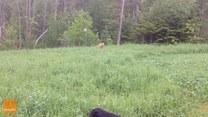 Pies skacze z radości widząc... letni deszcz