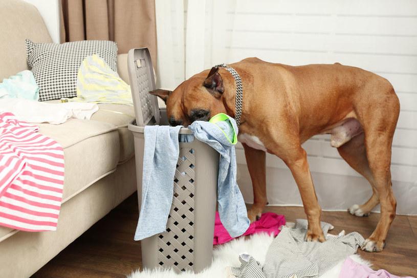 Pies spragniony uwagi może bałaganić i zjadać niepożądane przedmioty /123RF/PICSEL