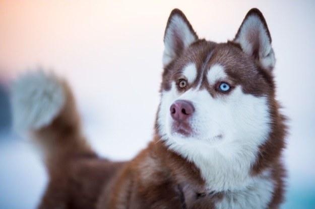 Pies, u którego pojawił się CTVT przypominał dzisiejszejszą rasę husky /123RF/PICSEL