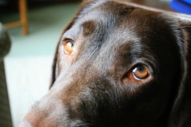 Pies unosi brwi z pomocą mieśni, których wilk nie ma /University of Portsmouth /Materiały prasowe