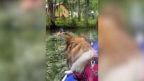 Pies wypatruje właściciela, gdy ten znika pod wodą. Urocze