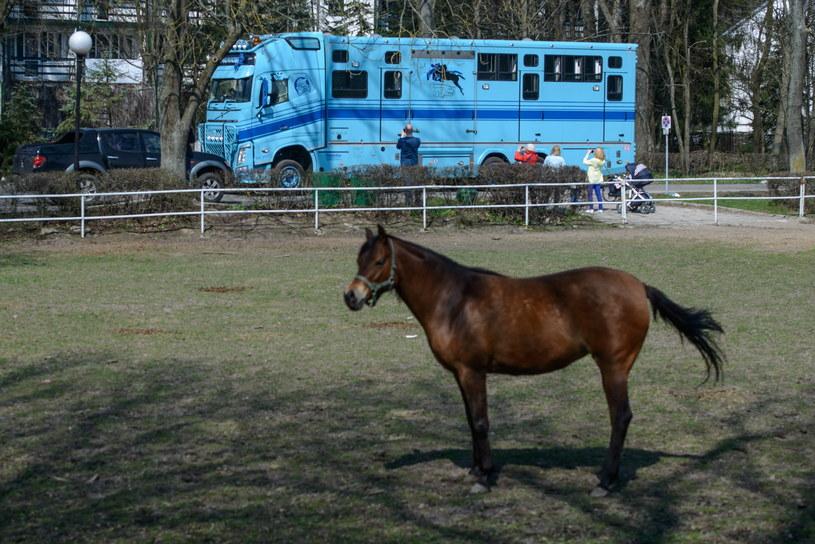 Pieta i Agusta - ostatnie dwie klacze należące do Watts, zostały przetransportowane do należącej do niej stadniny koni Halsdon Arabians w Anglii /Wojciech Pacewicz /PAP