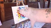 Pigcasso - świnka z talentem