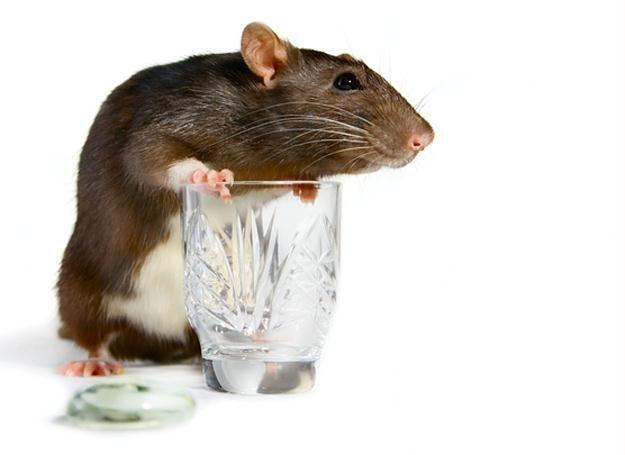 Pijące myszy. Czego to naukowcy nie wymyślą... /© Panthermedia