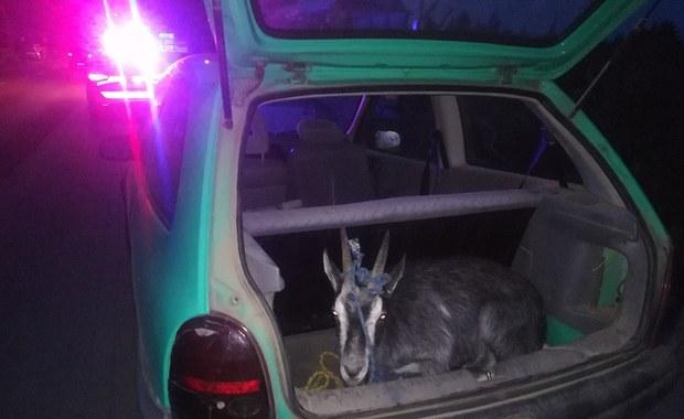 Pijany 18-latek przewoził w bagażniku... kozę