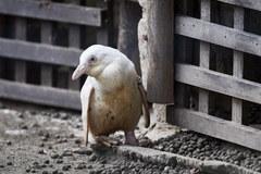 Pingwin albinos urodził się w gdańskim zoo
