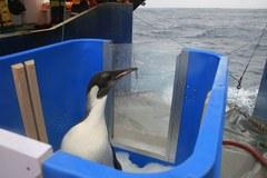 Pingwin Happy Feet wrócił na Antarktydę