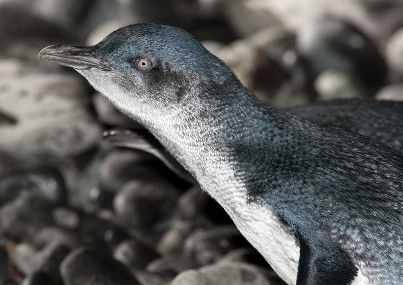 Pingwin mały (Eudyptula Minor) w Australii. /EastNews /East News