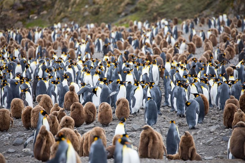 Pingwiny nawet w kilkutysięcznym stadzie potrafią odnaleźć swoją parę /123RF/PICSEL