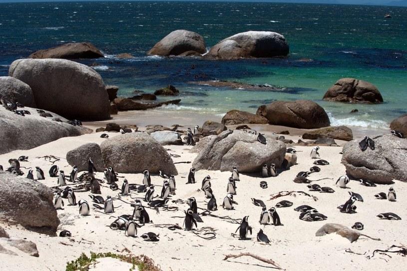 Pingwiny nazywane są tu jackass penguins ze względu na wydawane przez nie dźwięki podobne do oślich. Na zdjęciu Boulders Beach /123RF/PICSEL