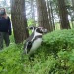 Pingwiny w lesie. Ptaki wybrały się nietypową wycieczkę