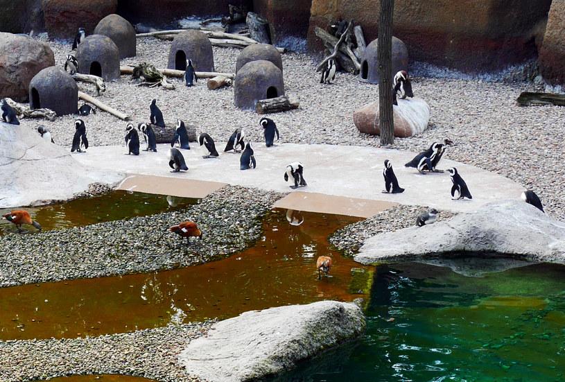 Pingwiny we wrocławskim Afrykarium /Agnieszka Łopatowska /Styl.pl