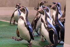 Pingwiny wróciły do śląskiego zoo