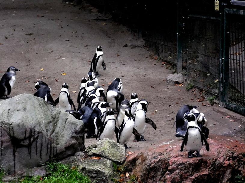 Pingwiny z gdańskiego zoo /123RF/PICSEL