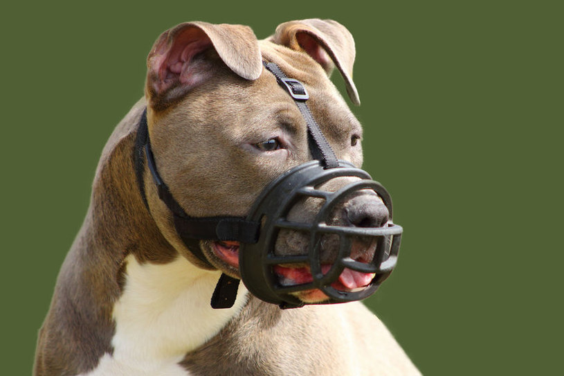 Pit bull terier /©123RF/PICSEL