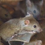 """Plaga myszy w Australii. """"Skala problemu jest monumentalna"""""""