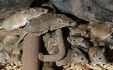 Plaga myszy wymusiła ewakuację więzienia w Australii