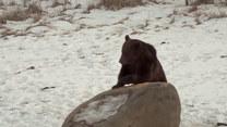 Plaga niedźwiedzi w dużym europejskim kraju