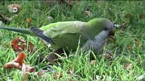 Plaga papug w Hiszpanii