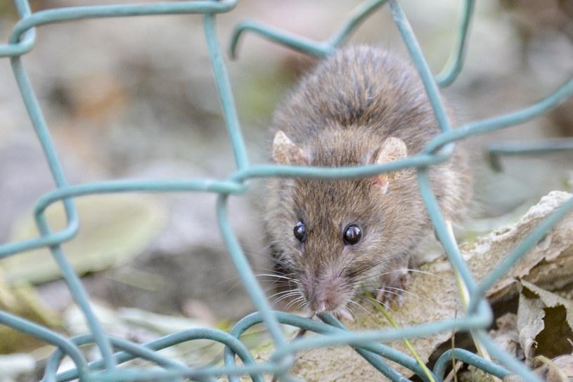 Plaga szczurów w Madrycie, zdjęcie ilustracyjne /Piotr Kamionka/ REPORTER /East News