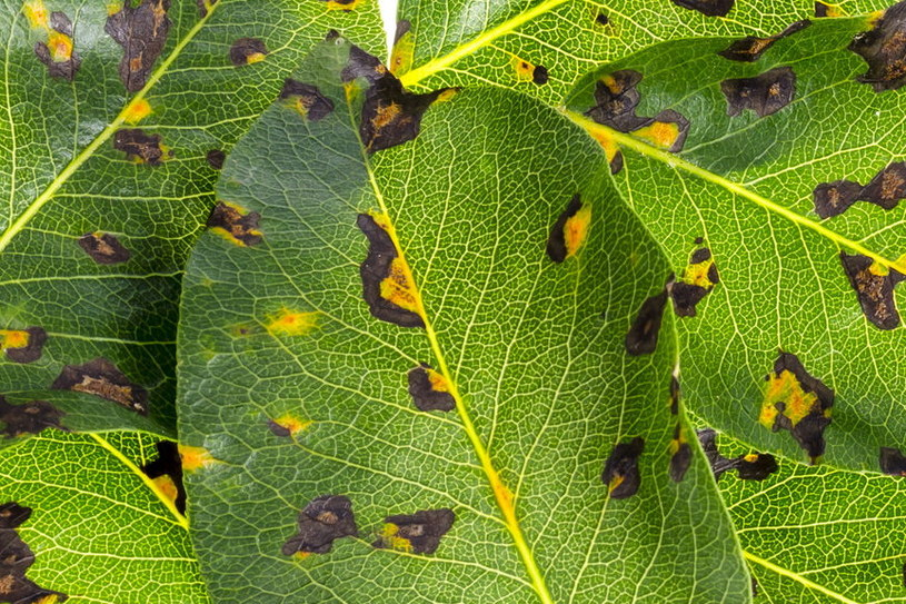 Plamistość liści /©123RF/PICSEL