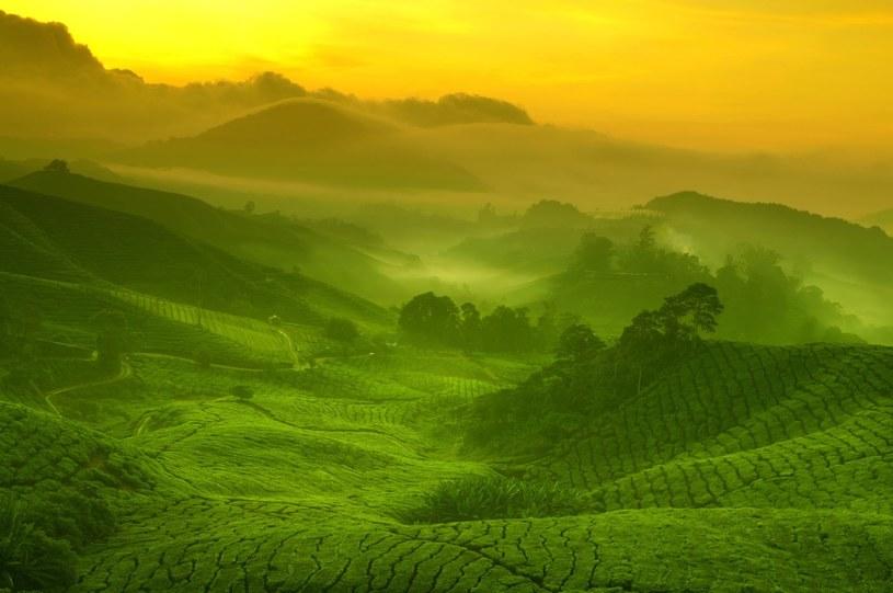 Plantacja herbaty w Cameron Highlands /123RF/PICSEL