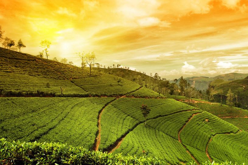 Plantacja herbaty /123/RF PICSEL