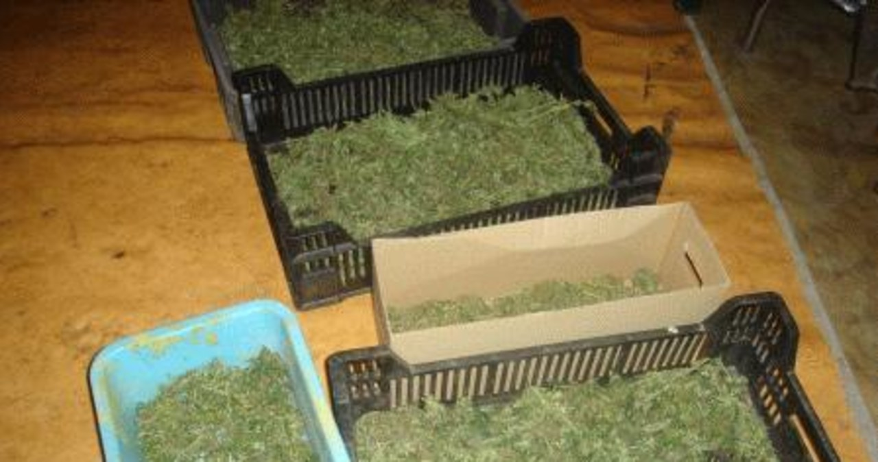 Plantacja marihuany w starej pieczarkarni