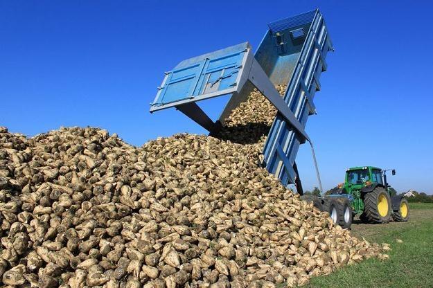 Plantatorzy dobrze wiedzą ile jest warta Krajowa Spółka Cukrowa /©123RF/PICSEL