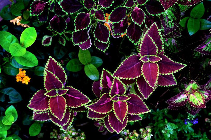 Plektrantus (Koleus Blumego) /©123RF/PICSEL