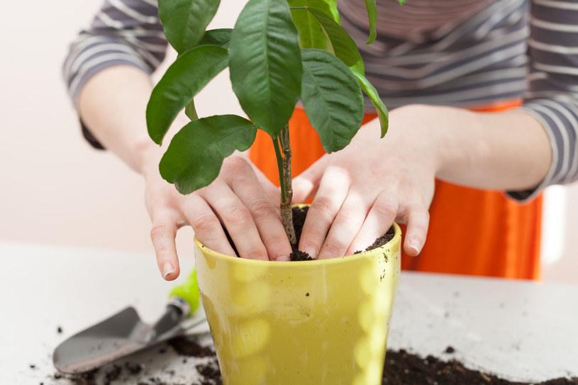 Pleśń może czaić się w ziemi roślin doniczkowych /123RF/PICSEL