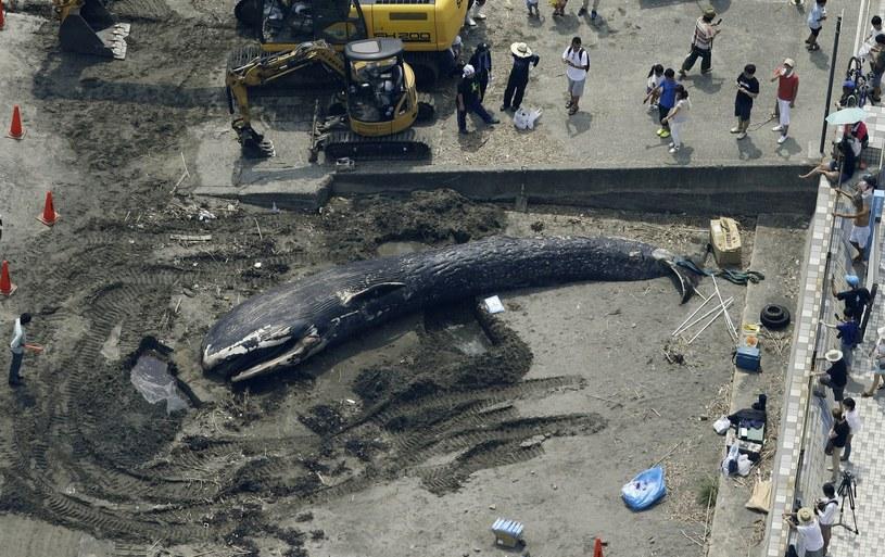 Płetwal błękitny wyrzucony na brzeg w Kamakurze /Kyodo via AP Images /East News